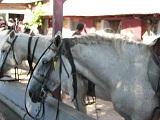 voyages-inattendus, camargue, grau du roi, chevaux