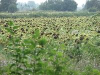 voyages-inattendus, camargue, le cailar, champs de tournesols